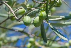 Grüne Oliven auf einem Zweig Lizenzfreie Stockfotografie
