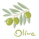 Grüne Oliven auf einer Niederlassung mit Blättern Stockbilder
