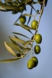 Grüne Oliven auf Niederlassung mit Blättern Lizenzfreie Stockfotos