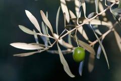 Grüne Oliven auf Niederlassung mit Blättern Stockbild