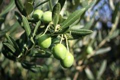Grüne Oliven auf Zweig Lizenzfreies Stockbild