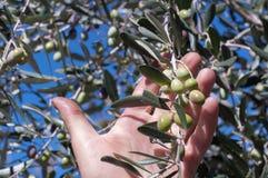 Grüne Oliven in der Hand Stockbild