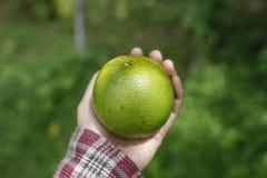 Grüne Orange Lizenzfreie Stockfotografie