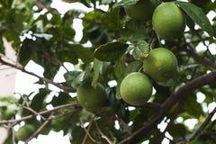 Grüne Orangen Lizenzfreie Stockbilder