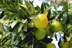 Grüne Orangen, die auf dem Baumast wachsen Lizenzfreie Stockbilder