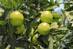 Grüne Orangen, die auf dem Baumast wachsen Lizenzfreies Stockbild