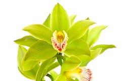 Grüne Orchidee Lizenzfreies Stockfoto