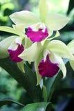 Grüne Orchidee 2 Lizenzfreie Stockfotografie
