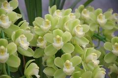 Grüne Orchidee Lizenzfreie Stockfotografie