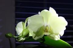 Grüne Orchidee mit Licht auf den Blumenblättern Farbänderung lizenzfreies stockbild