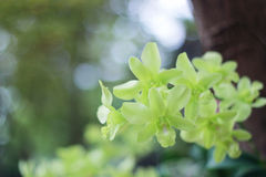 Grüne Orchideenblume im Gartenhintergrund, grüne Blume lizenzfreies stockbild