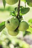 Grüne organische Äpfel auf Baum stockfotografie