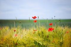 Grüne organische whet und Mohnblumeblumen Lizenzfreie Stockfotografie