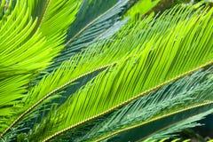Grüne Palmblätter Stockbilder