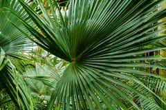 Grüne Palmblätter Stockfoto