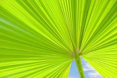 Grüne Palmblätter in der Natur Lizenzfreie Stockbilder