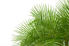 Grüne Palmblätter herein lokalisiert auf weißem Hintergrund, Beschneidungspfad Stockbilder