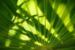 Grüne Palmblattbeschaffenheit Stockfotografie