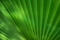 Grüne Palme Lizenzfreies Stockbild