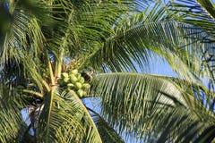 Grüne Palme mit vielen Kokosnüssen stockfotos