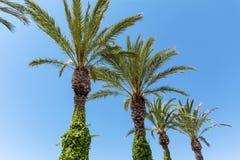 Grüne Palmen in Folge auf einem Hintergrund des blauen Himmels Stockbilder