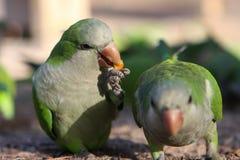 Grüne Papageien lizenzfreie stockfotos