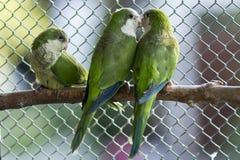 Grüne Papageien Stockbilder