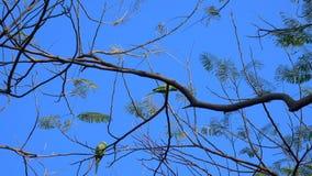 Grüne Papageien auf den Niederlassungen stock footage