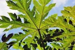 Grüne Papaya Stockbilder