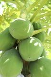 Grüne Papaya Lizenzfreie Stockfotos