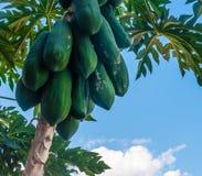 Grüne Papaya Stockbild