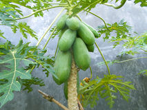 Grüne Papayafrucht, die am Baum hängt stockbild