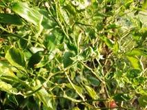 Grüne Paprikablumen und -blätter stockfoto