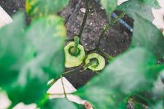 Grüne pepers in den Betten im Gewächshaus Stockfotos