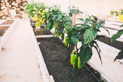 Grüne pepers in den Betten im Gewächshaus Lizenzfreie Stockfotografie