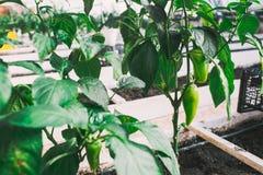 Grüne pepers in den Betten im Gewächshaus Lizenzfreie Stockfotos
