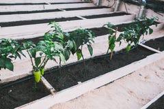 Grüne pepers in den Betten im Gewächshaus Lizenzfreie Stockbilder