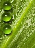 Grüne Perlen auf nassem Blatt Stockfotografie