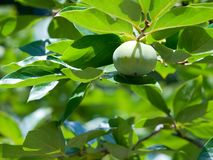 Grüne Persimonefrucht Lizenzfreies Stockbild