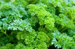 Grüne Petersilie Stockfotos