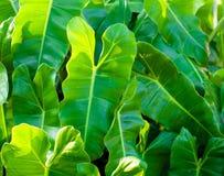 Grüne Philodendronblätter im Sonnenlicht Lizenzfreies Stockbild