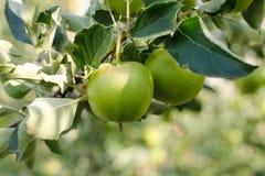 Grüne polnische Äpfel auf der Niederlassung lizenzfreies stockfoto
