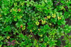 Grüne Preiselbeere Stockfotografie