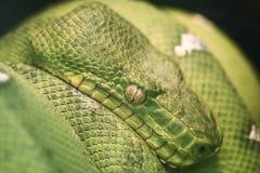 Grüne Pythonschlange Stockbilder