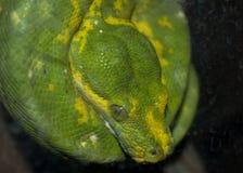 Grüne Pythonschlange lizenzfreie stockfotografie