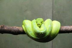 Grüne Pythonschlange lizenzfreie stockfotos