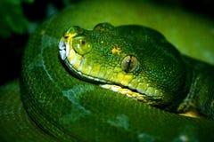 Grüne Pythonschlange Stockfotografie