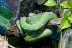 Grüne Pythonschlange auf Zweig lizenzfreie stockbilder