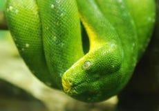 Grüne Pythonschlangenschlange, Abschluss bis zum Auge. Stockfotos