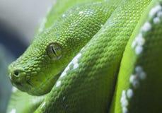 Grüne Pythonschlangeschlange Lizenzfreie Stockfotos